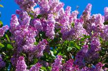 Purple Lilac Blossoms Against ...