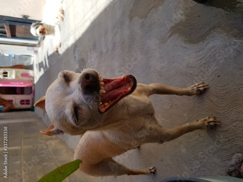 Fototapety, obrazy: Dog Yawning Outdoors