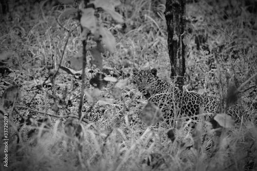 Cuadros en Lienzo Portrait Of Leopard Amidst Plants At Nagzira