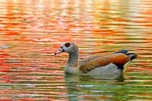 Egyptian Goose Swimming In Lake