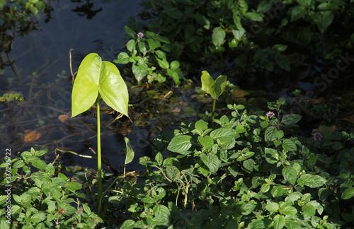 Fotografija broadleaf arrowhead (Sagittaria latifolia) and other water plants in the pond