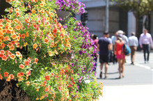 Planter Box In The City Full Plants With Orange And Purple Flowers. Office Building In Background. Calibrachoa 'Calitastic Mango' - Orange Mini Petunia. People Crossing The Street In The Background.