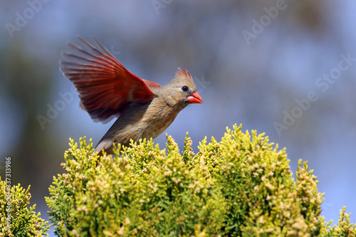 Fotografie, Obraz Cardinal Flying By Plant