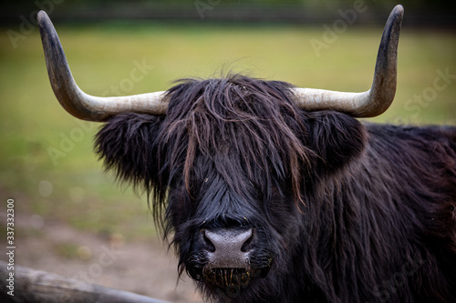 Fototapety, obrazy: close up of a bull