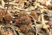 Thorny Chestnut Falls On The G...