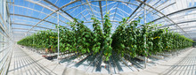 Big Panoramic View Of Growing Cucumbers In A Big Greenhouse