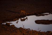 Deer By Waterhole At Dusk