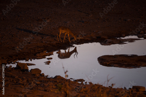 Valokuva Deer By Waterhole At Dusk