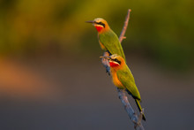 White Fronted Bee Eater Perched On A Branch