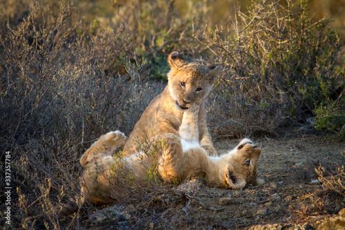 Tela lion cubs playing