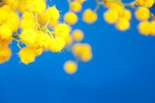 Natural Small Yellow Mimosa Fl...