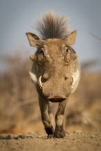 Warthog In The Savannah