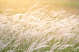 summer background, dry grass flower blowing in the wind, red reed sway in the wind with blue sky background