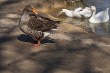 A Greylag Goose Cleaning Itself Beside The Pond At Bluebird Gap Farm Park Surrounded By Other Geese.