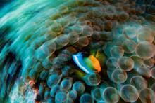 Move Effect Clown Fish Inside ...