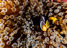Clown Fish Inside Red Anemone...