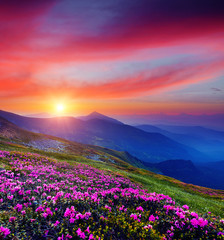 Obraz na Szkle Góry Pink flower rhododendrons at magical sunset. Location Carpathian mountain, Ukraine, Europe.