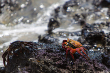 Sally Lightfoot Crab Or Red Ro...