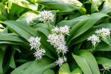 Blooming Wild Garlic Ramsons (...