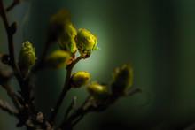 Boutons De Fleurs De Glycines ...