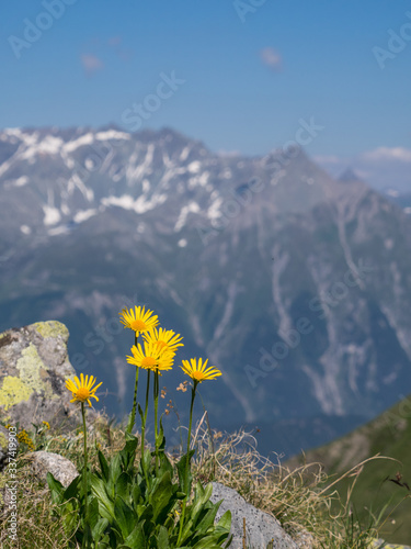 Close-up of Arnica montana flowers in the Alps, mountains in the background Wallpaper Mural