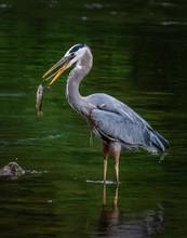 A Great Blue Heron Flips A Fis...