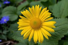 Leopards Bane Is A Genus Of Flowering Plants In The Sunflower Family. It Is Herbaceous Perennial Native To Europe And Southwest Asia It Produces Yellow, Daisy-like Flower Heads In Spring And Summer.