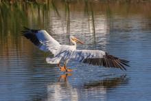 A American White Pelican (Pele...
