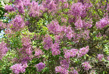 A Close-up On A Beautiful Lilac Or Syringa Vulgaris Flowers, Which Are Richly Blooming In The Garden.