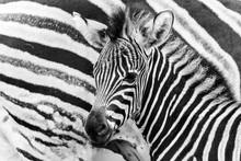 Chapmans Zebra Mother And Baby