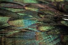 Greenish Plumage Of A Mallard....