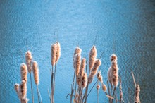 Yellow  Fluffy Reed Blue River Water Background Macro