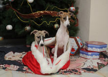 Whippets Purebred Dogs At The Foot Of The Christmas Tree Next To Gift Boxes