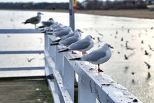Seagulls Perching On Railing Of Pier By Sea
