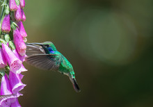 Male Lesser Violetear With Wings Swept Forward Reachs Its Beak Towards Necture Covered Purple Bloom