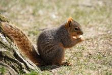 Eastern Fox Squirrel Looking F...