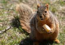 Eastern Fox Squirrel Looking F...
