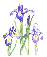 hand drawn watercolor illustration,flowers  blue irises  on the white background