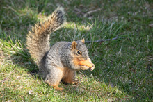 Eastern Fox Squirrel Looking For Food In The Park On A Sunny Day