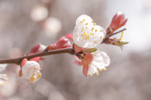 Buds And Opening Flower Of The Apricot Tree. Beginning Of Flowering. Beautiful Scene Of Spring Nature For A Calendar, Postcards On The Easter Theme.
