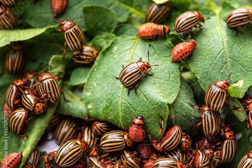 potato beetle on a light background.Many Colorado potato beetle. Fototapete