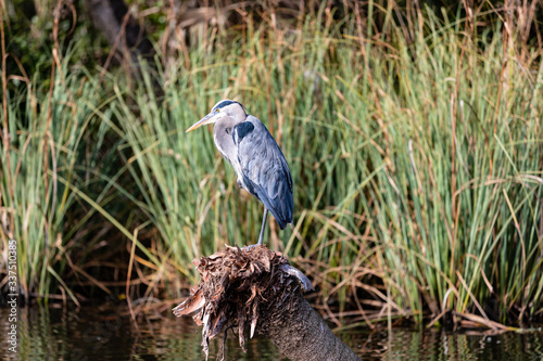 Great Blue Heron Slika na platnu