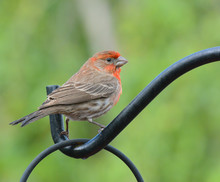 A Red Male House Finch, Haemor...