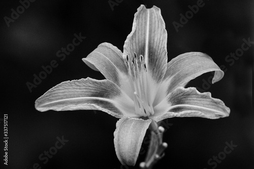 Fototapety, obrazy: Close-up Of Day Lily Blooming Against Black Background