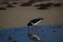 A Pied Oyster Catcher Hunting On The Beach At Dawn - Landscape