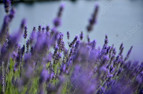 Fototapeta Close-up Of Lavender Flowers On Field obraz