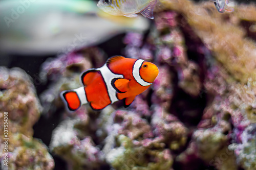 Fotografiet Close-up Of Clown Fish Swimming In Sea