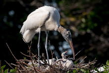 Wood Stork With Babies