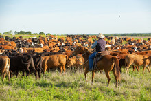 Cowboy Moving Cattle To New Pasture On The Ranch