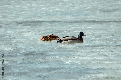 Obraz na plátně Beautiful closeup shot of two ducks swimming at Louvre Lake